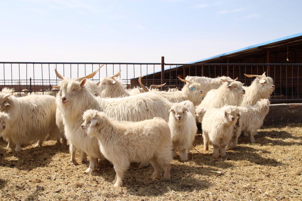 cachemire éthique - chèvres Hircus
